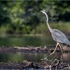 Adirondacks Seventh Lake Great Blue Heron 7 September 2018