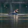 Adirondacks Seventh Lake Loon 3 September 2018