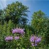 Albany NY Flower UAlbany 11 July 2018