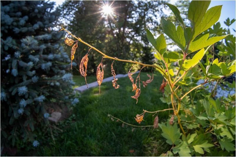 Delmar NY Bleeding Seeds 2 July 2018