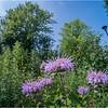 Albany NY Flower UAlbany 10 July 2018