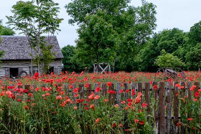 Barnyard Poppy Field