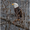 New York Cohoes Falls Overlook Eagle 10 December 2020