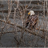 New York Cohoes Falls Overlook Eagle 2 December 2020