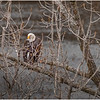 New York Cohoes Falls Overlook Eagle 6 December 2020