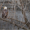 New York Cohoes Falls Overlook Eagle 4 December 2020