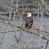 Cohoes NY Falls Overlook Eagle 1 December 2020