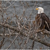 New York Cohoes Falls Overlook Eagle 11 December 2020