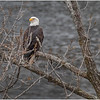 New York Cohoes Falls Overlook Eagle 8 December 2020