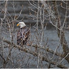 New York Cohoes Falls Overlook Eagle 7 December 2020