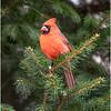 New York Delmar Cardinal 1 December 2020