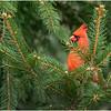New York Delmar Cardinal 8 December 2020