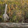 Adirondacks Fish Creek Great Blue Heron 5 September 2020