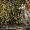 Adirondacks Fish Creek Great Blue Heron 7 September 2020