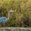 Adirondacks Fish Creek Great Blue Heron 3 September 2020