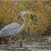 Adirondacks Fish Creek Great Blue Heron 14 September 2020