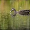 Adirondacks Fish Creek Black Duck 2 September 2020