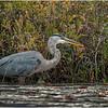Adirondacks Fish Creek Great Blue Heron 12 September 2020