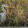 Adirondacks Fish Creek Great Blue Heron 10 September 2020