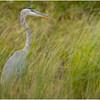 Adirondacks Fish Creek Great Blue Heron 17 September 2020