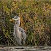 Adirondacks Fish Creek Great Blue Heron 8 September 2020