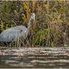 Adirondacks Fish Creek Great Blue Heron 4 September 2020