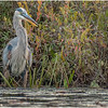 Adirondacks Fish Creek Great Blue Heron 9 September 2020