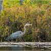 Adirondacks Fish Creek Great Blue Heron 2 September 2020