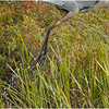 Adirondacks Fish Creek Great Blue Heron 16 September 2020