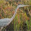 Adirondacks Fish Creek Great Blue Heron 15 September 2020