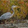Adirondacks Fish Creek Great Blue Heron 13 September 2020