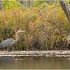 Adirondacks Fish Creek Great Blue Heron 1 September 2020