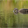 Adirondacks Fish Creek Black Duck 3 September 2020