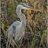 Adirondacks Fish Creek Great Blue Heron 11 September 2020