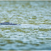 Adirondacks Forked Lake Loon with Baby 12 July 2020