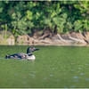 Adirondacks Forked Lake Loon with Baby 9 July 2020
