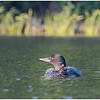 Adirondacks Forked Lake Loon with Baby 2 July 2020