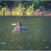 Adirondacks Forked Lake Loon with Baby 3 July 2020