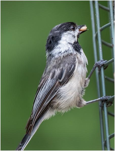 New York Delmar Backyard Birds Black Cap Chickadee 1 July 2020