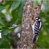 New York Delmar Backyard Birds Downy Woodpecker 5 July 2020