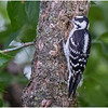 New York Delmar Backyard Birds Downy Woodpecker 4 July 2020