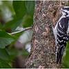 New York Delmar Backyard Birds Downy Woodpecker 8 July 2020