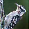 New York Delmar Backyard Birds Downy Woodpecker 2 July 2020