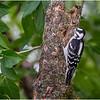 New York Delmar Backyard Birds Downy Woodpecker 6 July 2020