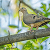 Delmar NY Backyard Mourning Dove 3 May 2020