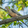 Delmar NY Backyard Mourning Dove 1 May 2020