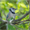 Delmar NY Backyard Bluejay 1 May 2020