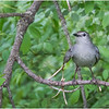 Delmar NY Backyard Gray Catbird 7 May 2020