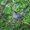 Delmar NY Backyard Gray Catbird 6 May 2020
