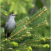 Delmar NY Backyard Gray Catbird 4 May 2020